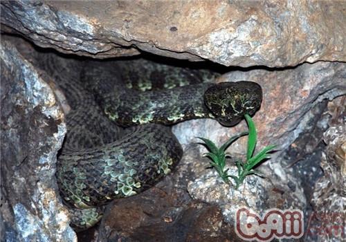 莽山烙铁头蛇的饲养知识