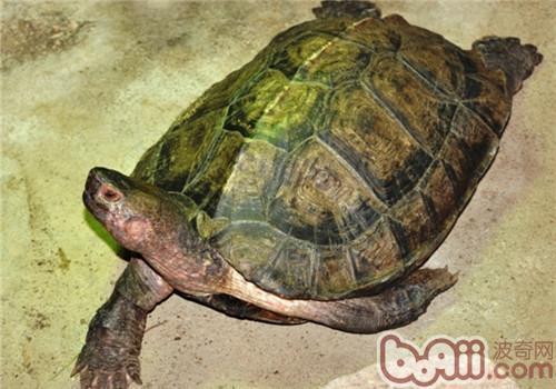 亚洲巨龟的外观特征