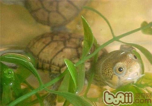 鹰嘴泥龟的品种简介