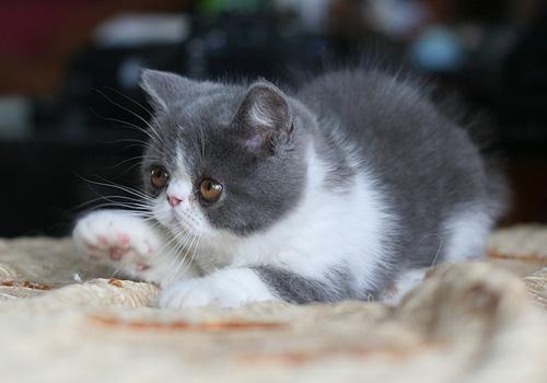 幼猫喂食注意事项