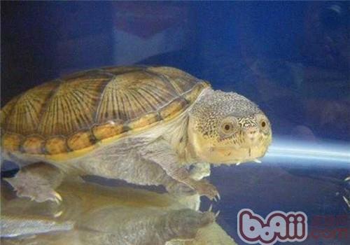 龟价格 鹰嘴泥龟多少钱一只 鹰嘴泥龟好养吗 波奇 ...