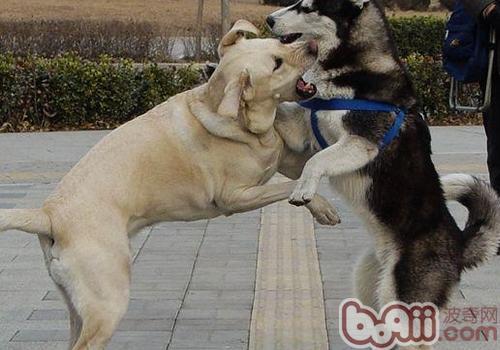 狗狗打架如何劝阻