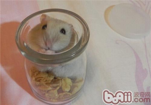 奶茶仓鼠的品种简介