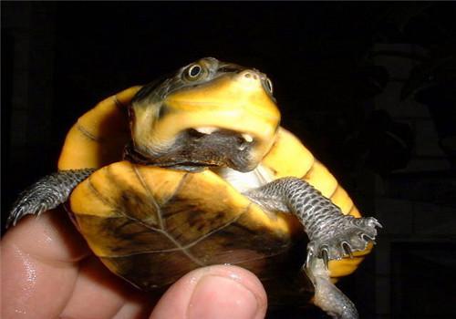 亚马逊泥龟的品种简介