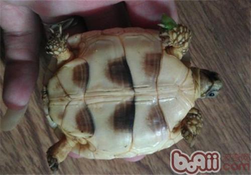 缘翘陆龟的护理知识