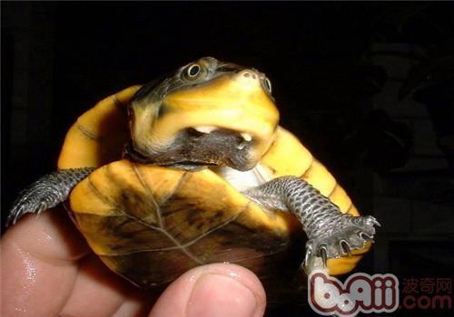 轻泥乌龟步骤图片大全
