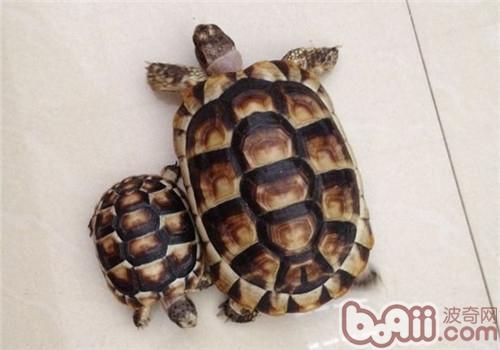 缘翘陆龟的饲养要点