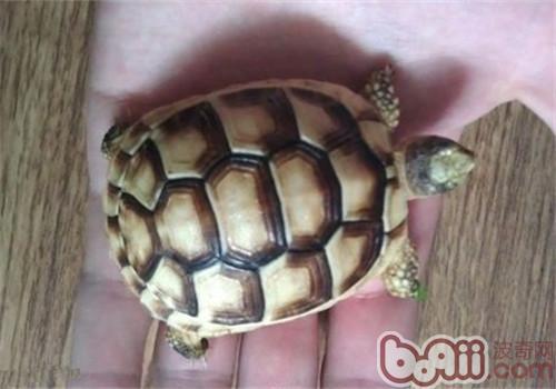 缘翘陆龟的形态特征