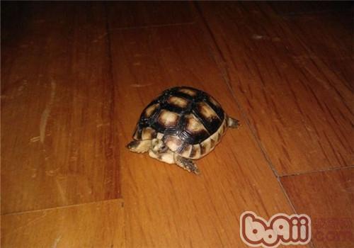 缘翘陆龟的品种简介