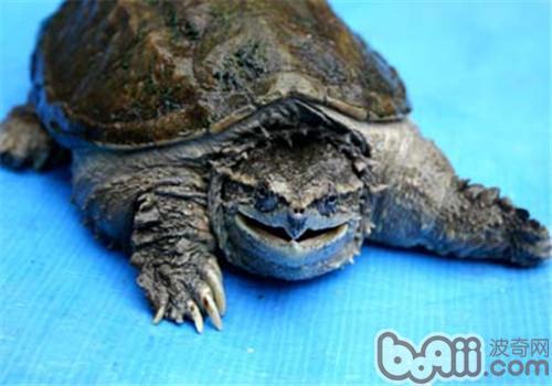 中美拟鳄龟的护理知识