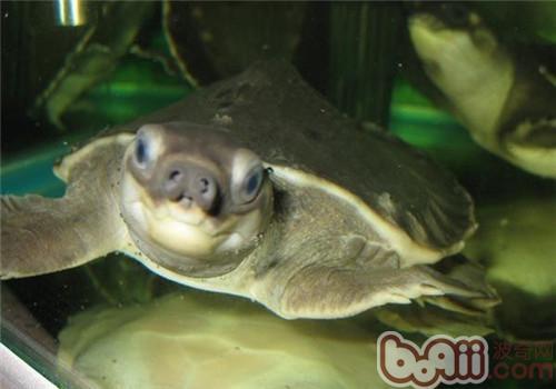 猪鼻龟的外观特征