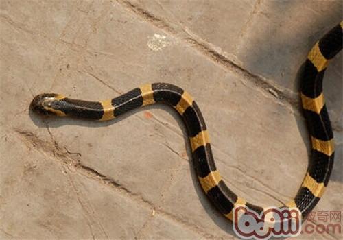 金环蛇的品种简介