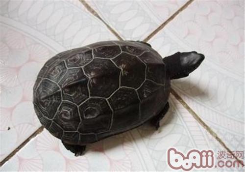 中华草龟的护理知识