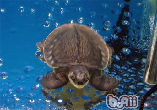 猪鼻龟的生活环境