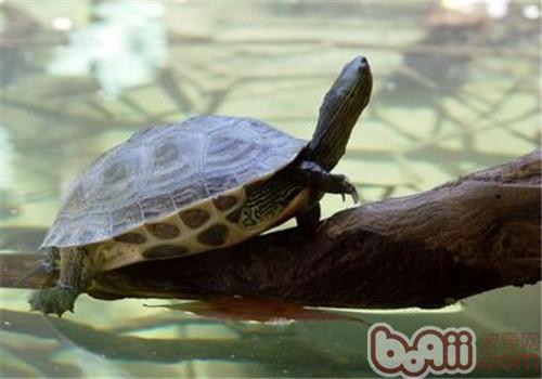 中华花龟的饲养要点