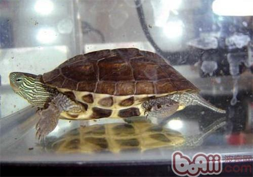 中华花龟的生活环境