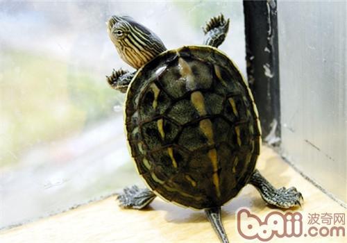 中华花龟的护理知识