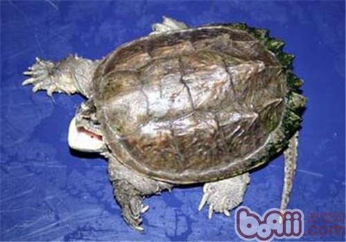 中美拟鳄龟的饲养要点