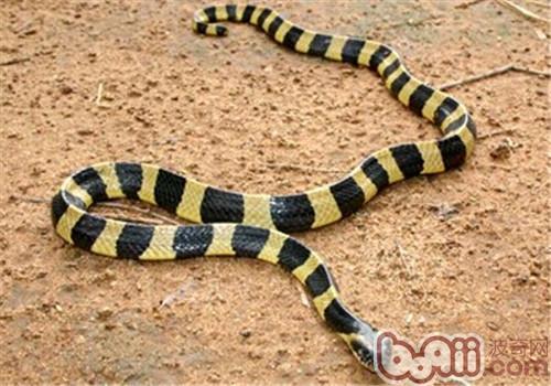 金环蛇的饲养知识
