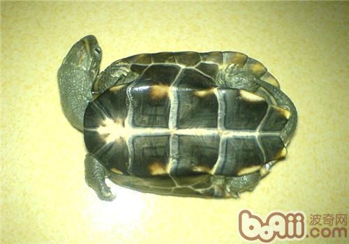 中华草龟的生活环境