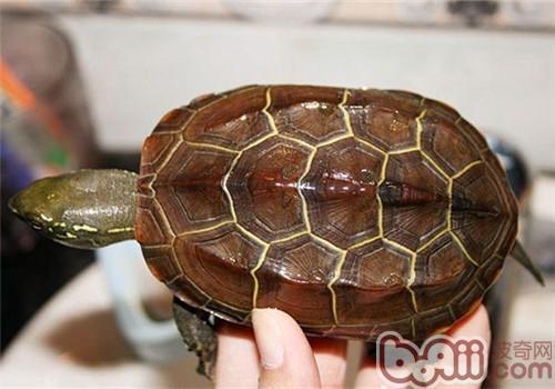 中华草龟的外观特征