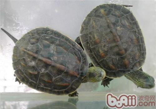 中华花龟的品种简介
