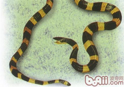 金环蛇的形态特征