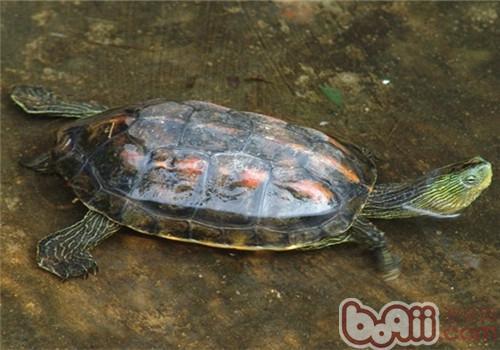 中华花龟的外观特征