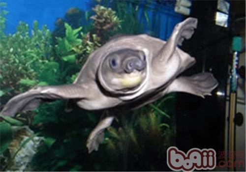 猪鼻龟的品种简介