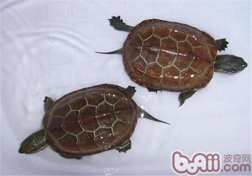 中华草龟的饲养要点