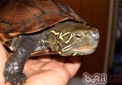 中华草龟的品种简介