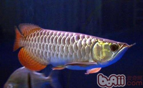 星点龙鱼的品种简介