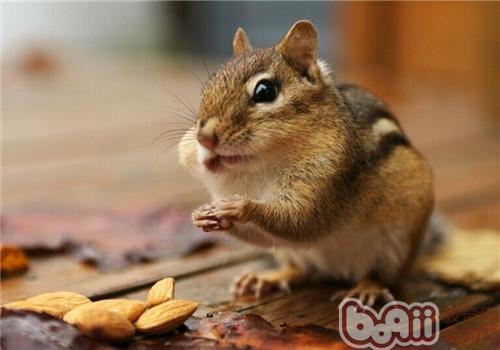 金花鼠的喂食要点