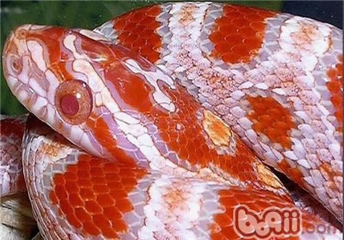 玉米蛇的形态特征