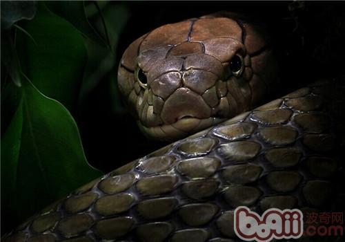 眼镜王蛇的喂食要点