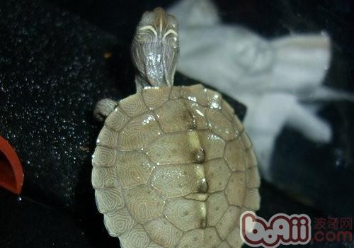 密西西比地图龟的外观特征