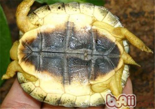 犁沟木纹龟,犁沟木纹龟价格