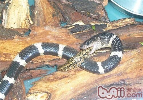 银环蛇的品种简介