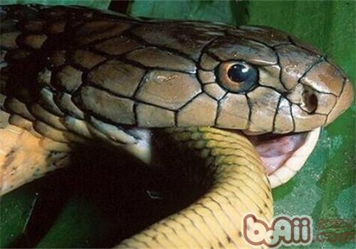 眼镜王蛇的品种简介