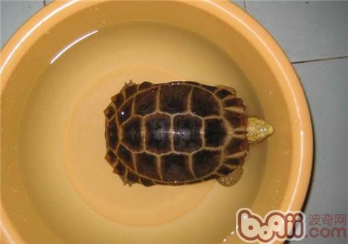 缅甸陆龟的生活环境布置