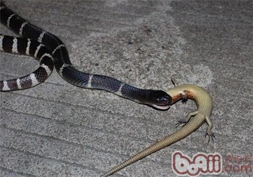 银环蛇的喂食要点