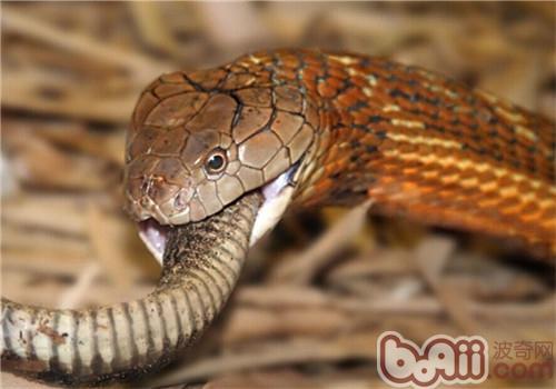眼镜王蛇的生活环境