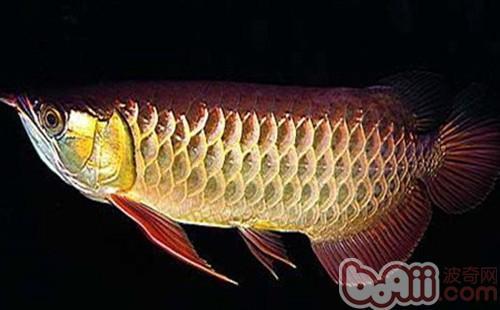 金龙鱼的品种简介