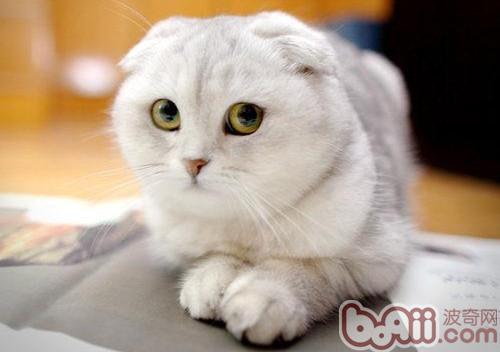 折耳猫繁殖注意事项