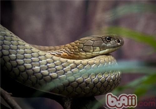 眼镜王蛇的饲养知识