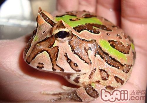 南美角蛙形态特征