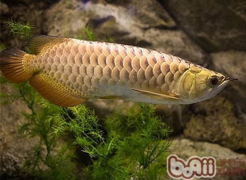 金龙鱼的外形特点