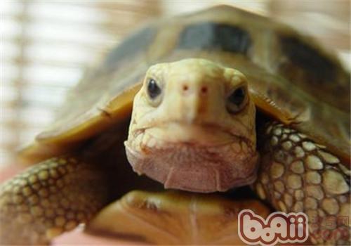 缅甸陆龟的护理知识