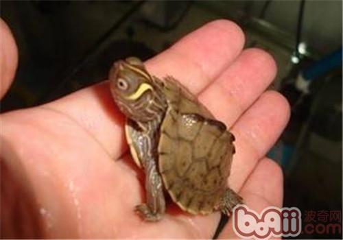 密西西比地图龟的护理知识