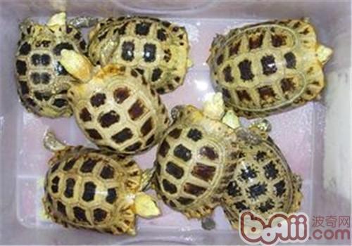 缅甸陆龟的形态特征